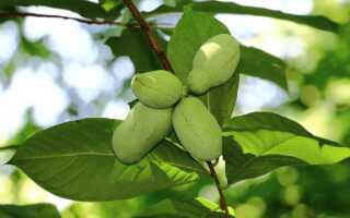 Азимина (банановое дерево, Пау-Пау)