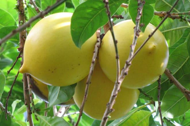 Второе название фрукта абиу - камито