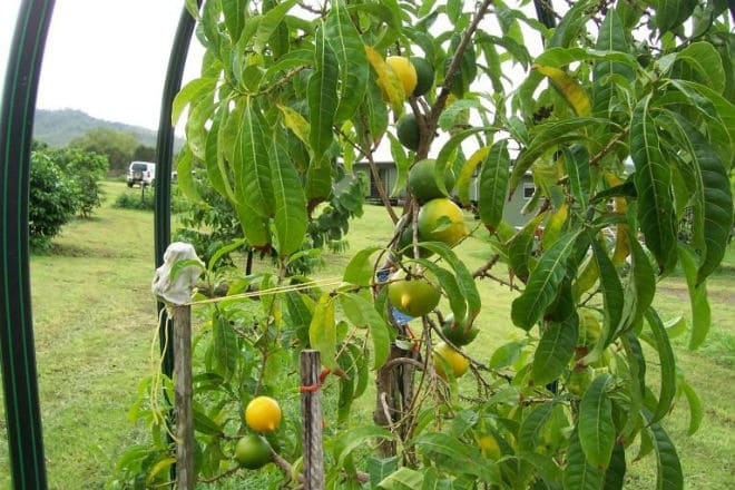 Как растет фрукт абиу