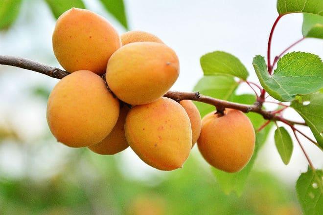 Плоды абрикоса на ветке