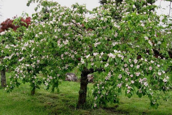 Плодоносящее дерево айва