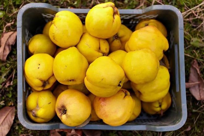 Сбор урожая плодов айвы