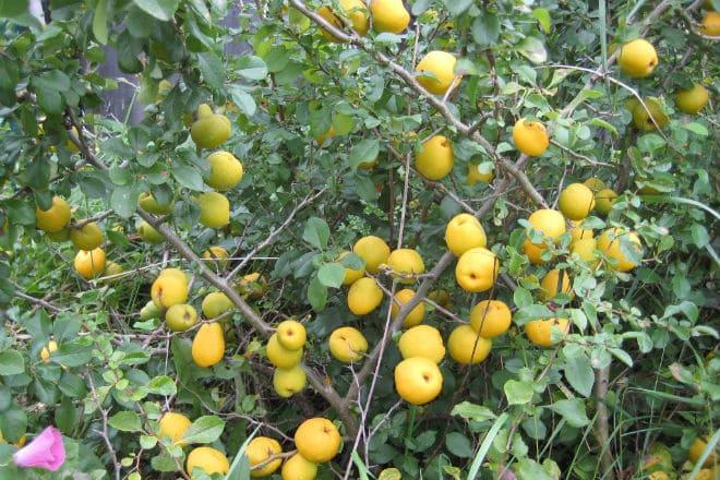 Дерево в период созревания плодов