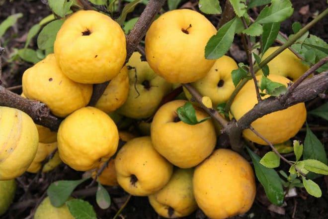 Плоды айвы японской на ветке