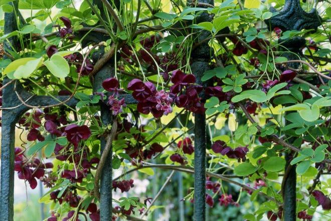 Шоколадная лиана на заборе