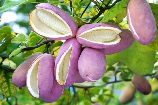 Плоды акебии на ветке растения