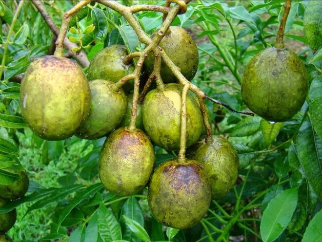 Как растет фрукт амбарелла