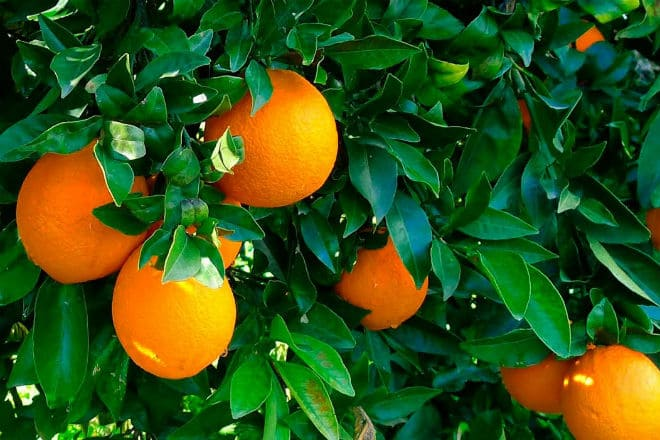 Апельсины на ветке дерева