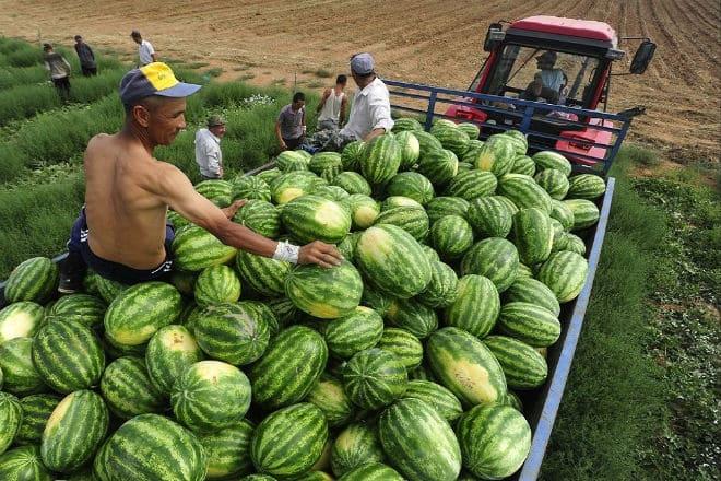 Сбор урожая арбузов