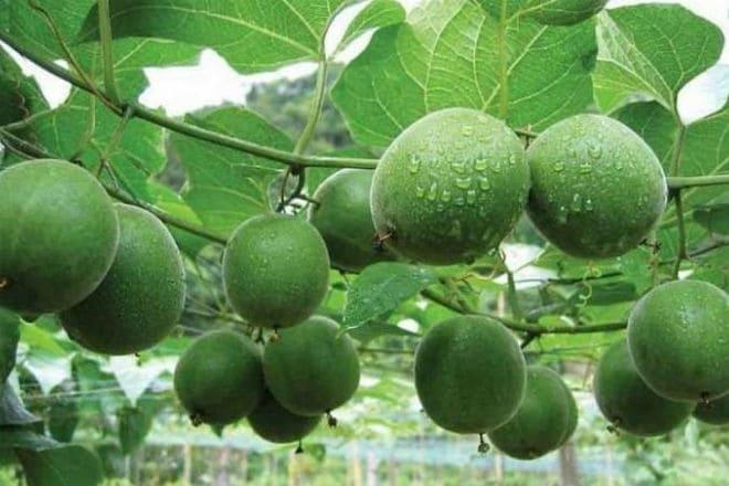 Плоды архата на ветке