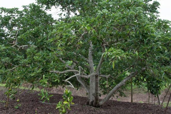 Плодовое дерево персея американская