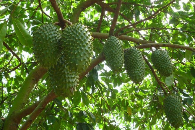 Как растет гуанабана
