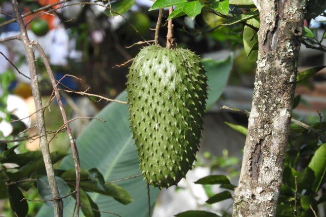 Гуанабана растет на ветке