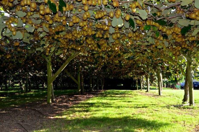 Деревья Актинидии китайской, на которой растут плоды киви