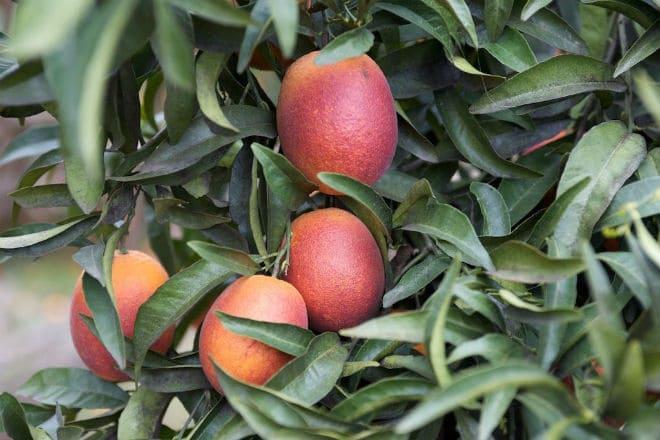 Красный апельсин на ветке дерева