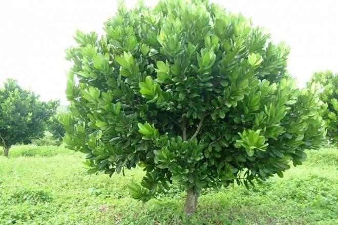 Дерево маммея американская
