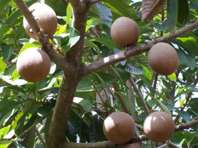 Плоды американского абрикоса на ветке