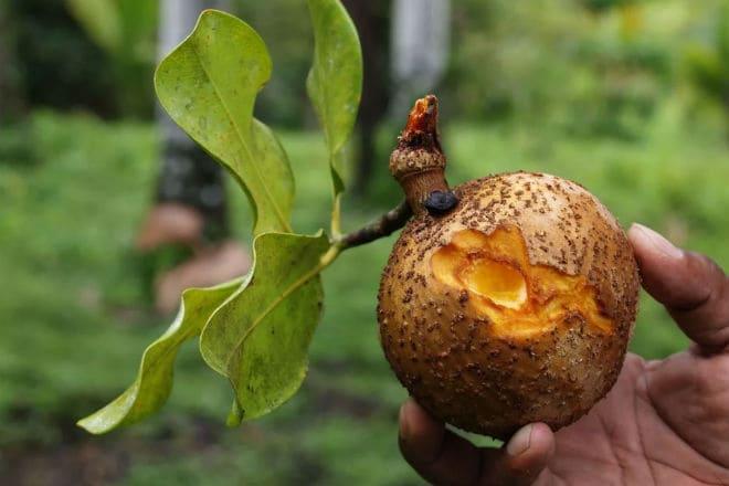 Плод антильского абрикоса