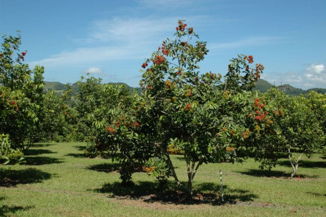 Дерево, на котором растут плоды рамбутана