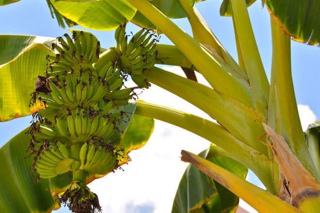 Как растет банан?