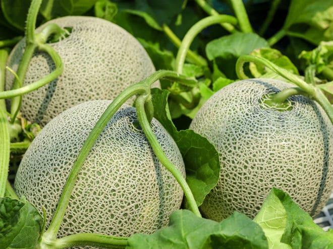 Как растет канталупа?