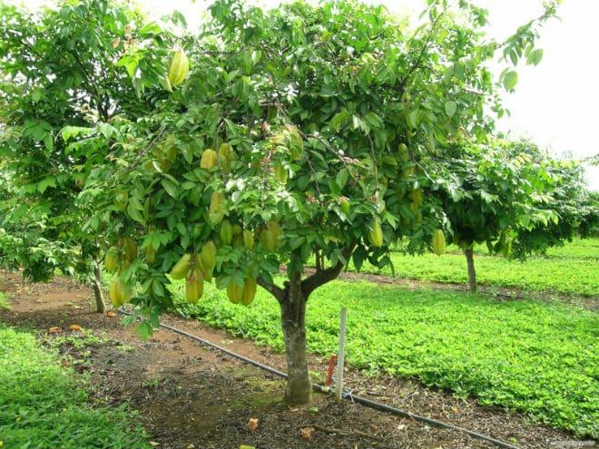 Вечнозеленое дерево карамбола