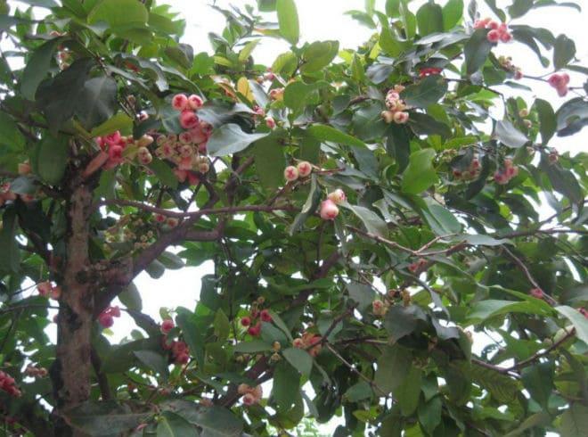 Плодовое дерево чомпу