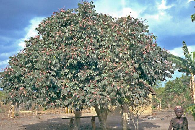 Плодовое дерево дакриодес