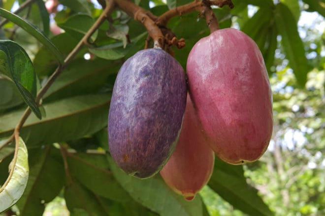 Как растут плоды африканской груши?