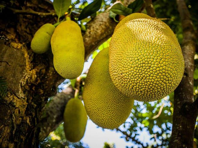 Как растут плоды джекфрута?