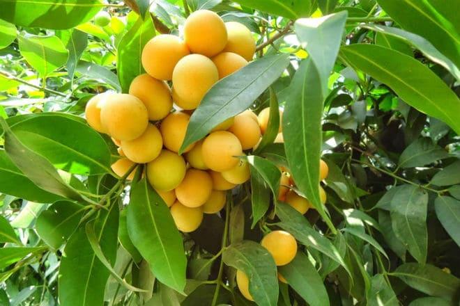 Как растут плоды гандарии