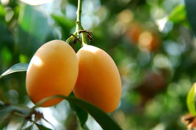 Плоды марианской сливы на ветке