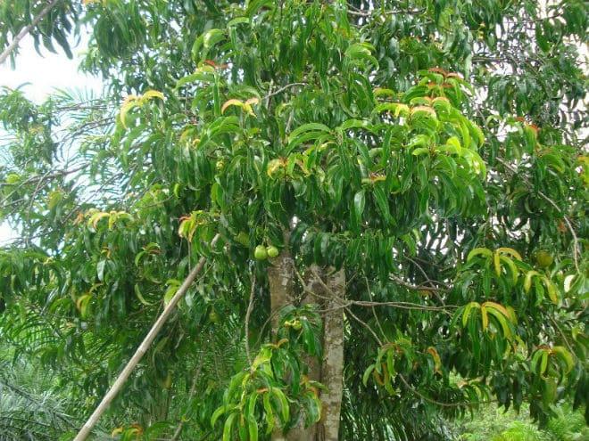 Плодовое дерево гарциния камбоджийская