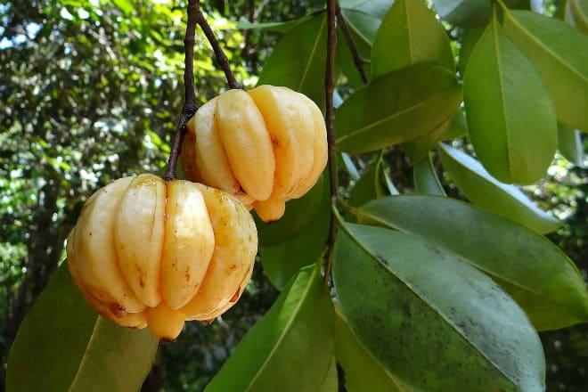 Как растут на ветке плоды гарцинии?
