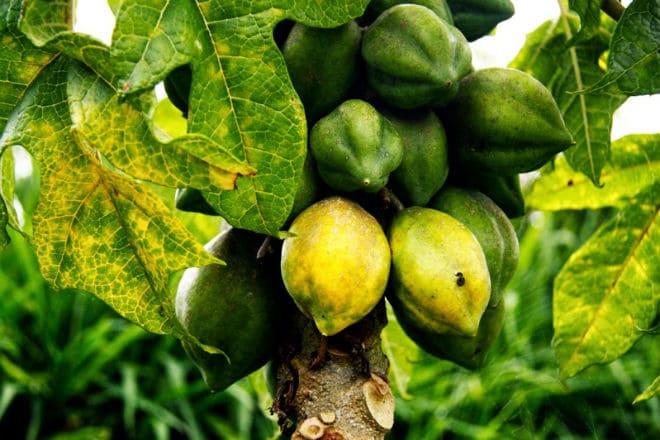 Плоды горной папайи на дереве
