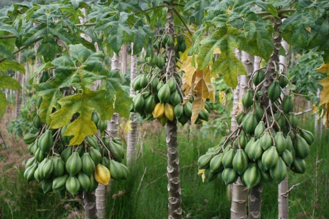 Как растет горная папайя на дынном дереве кундинамаркском?
