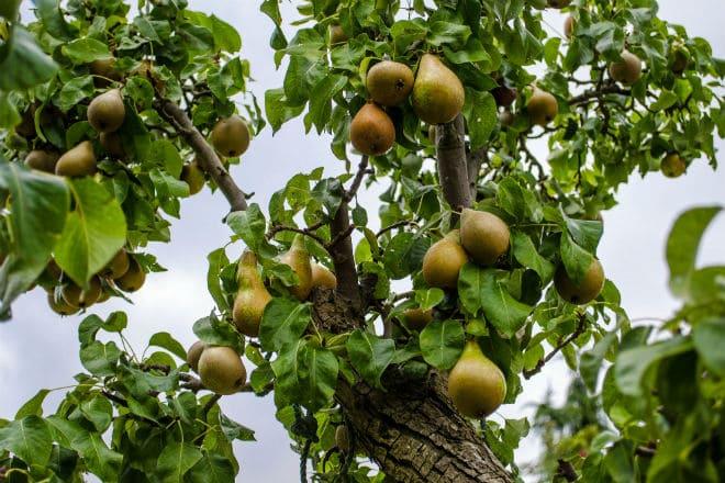 Как растут груши на плодовом дереве?