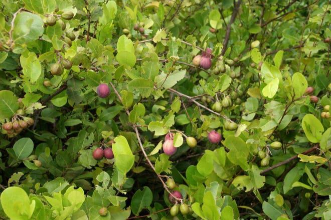 Плодовое дерево икако