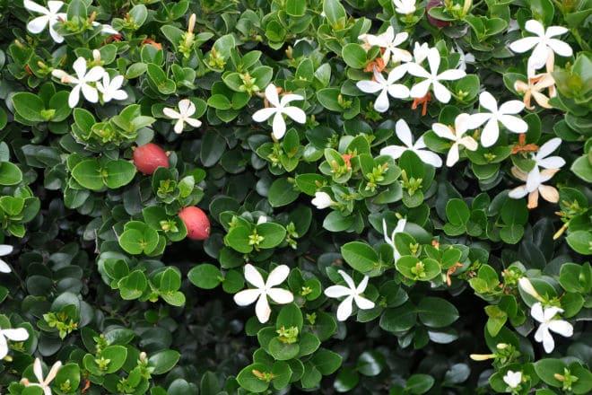 Цветущий куст кариссы