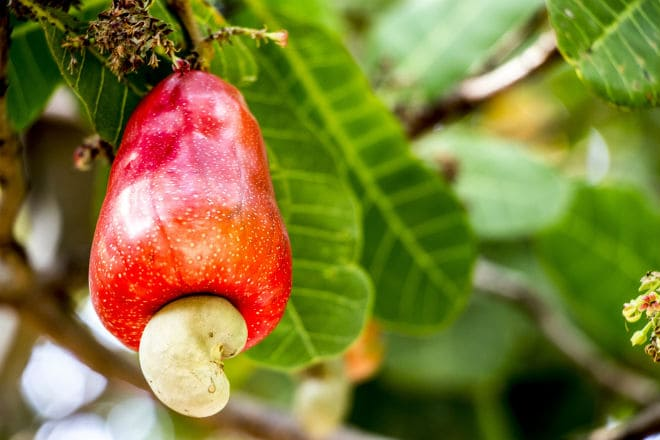 Как растет плод кешью?