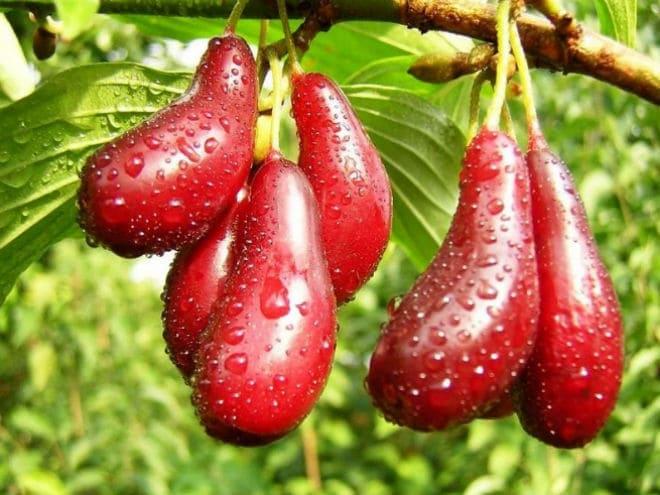 Что из себя представляют плоды кизила?