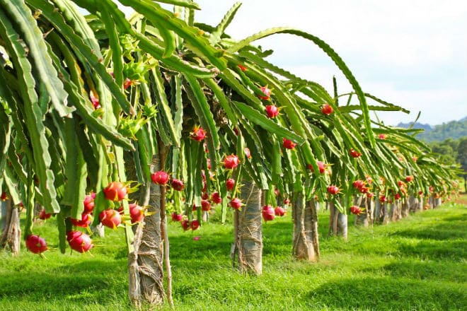 Как растет фрукт драконье сердце?