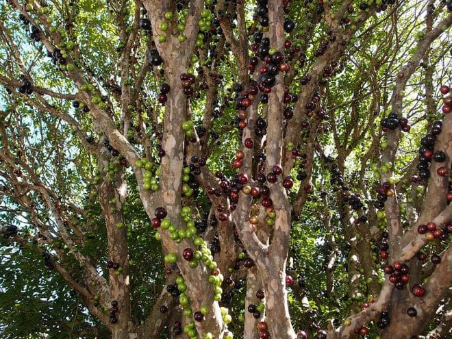 Бразильское виноградное дерево
