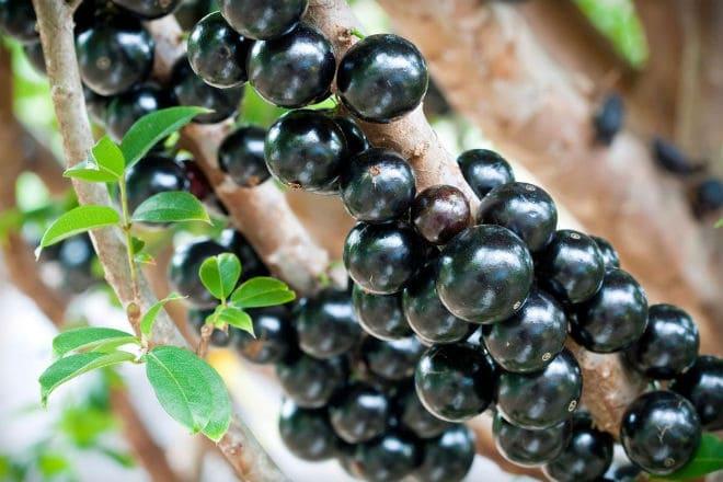 Как растут плоды жаботикабы?