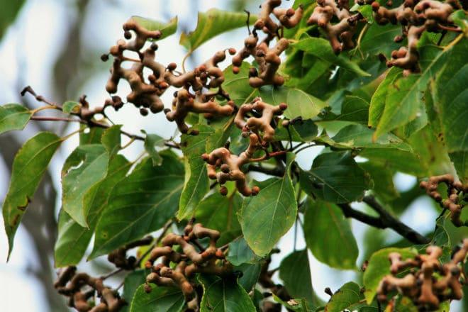 Как растут плоды конфетного дерева?