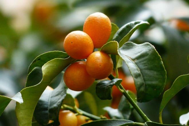 Как растут плоды кумквата