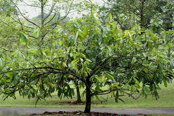 Плодовое дерево теоброма крупноцветковая