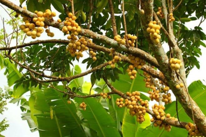 Дерево лангсат