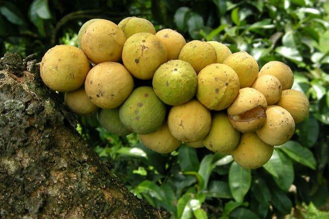 Как растут плоды лангконга?