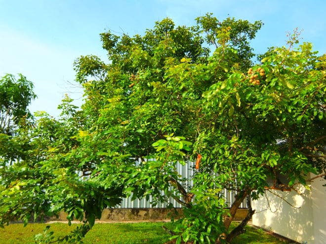 Дерево лонган